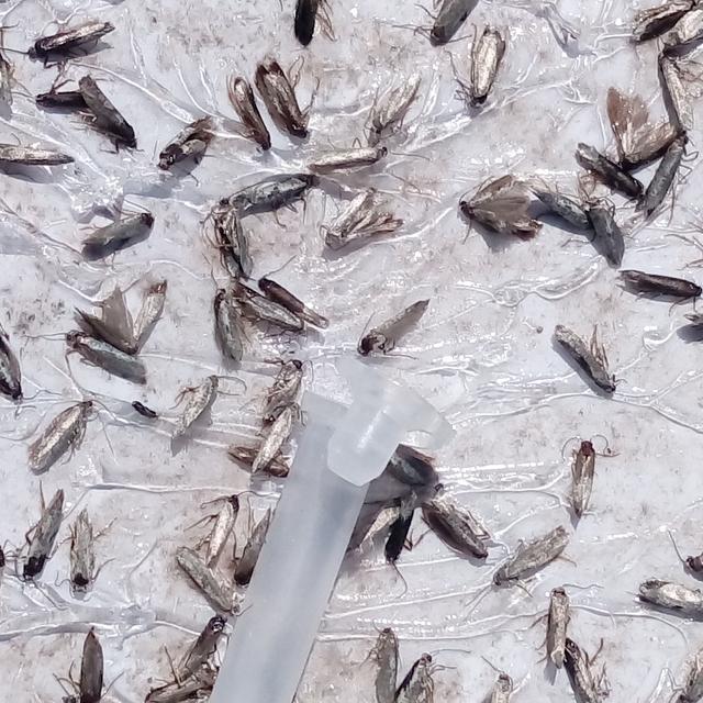 Dettaglio di una trappola e il gran numero di tignole catturate