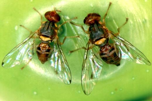 Esemplari di mosca (femmina e maschio)