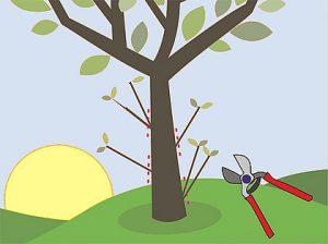 Potatura estiva degli ulivi